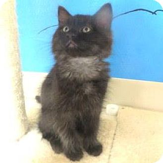 Domestic Longhair Kitten for adoption in Janesville, Wisconsin - Ditto