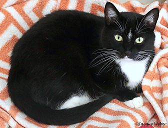Domestic Shorthair Cat for adoption in St Louis, Missouri - Michelle