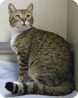 Domestic Shorthair Cat for adoption in Cedartown, Georgia - 30988355
