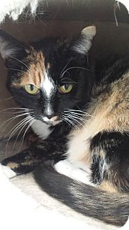 Domestic Shorthair Cat for adoption in Westminster, California - Fiona