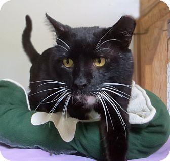 Domestic Shorthair Cat for adoption in Colville, Washington - Beefcake