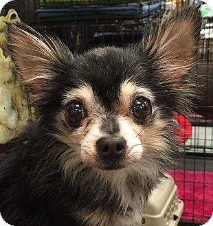 Chihuahua Dog for adoption in Orlando, Florida - Precious