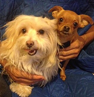 Maltese/Cairn Terrier Mix Dog for adoption in Van Nuys, California - Stella & Cheeky