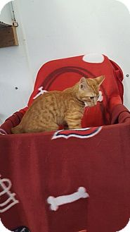 Domestic Shorthair Cat for adoption in Mt. Vernon, Illinois - Mystery