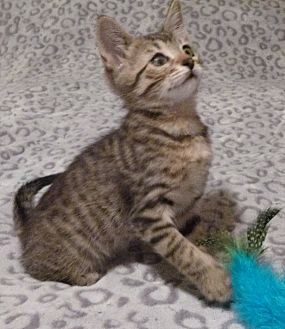 Domestic Shorthair Cat for adoption in Rosamond, California - Jody
