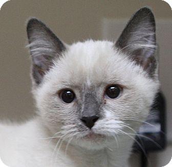Siamese Kitten for adoption in Midvale, Utah - Quinn