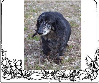 Dachshund Dog for adoption in Louisville, Colorado - Princess