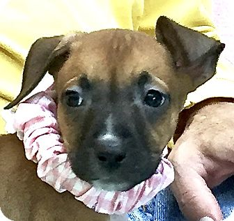 Labrador Retriever/Boxer Mix Puppy for adoption in Evansville, Indiana - Mercury