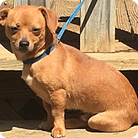 Adopt A Pet :: Coco - Beacon, NY