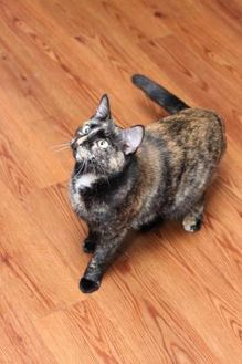 Domestic Shorthair/Domestic Shorthair Mix Cat for adoption in Des Moines, Iowa - Rochelle