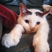 Adopt A Pet :: Caprica - Toronto, ON