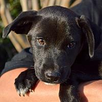 Adopt A Pet :: Sassy - Springfield, MA
