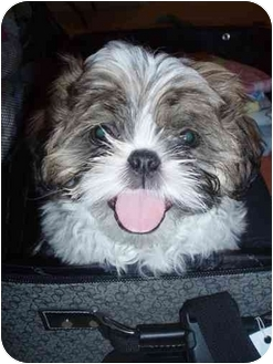 Shih Tzu Puppy for adoption in Los Angeles, California - CHUNK