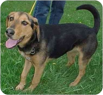 German Shepherd Dog/Beagle Mix Dog for adoption in North Judson, Indiana - Maggie