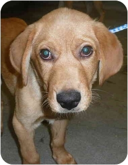 Labrador Retriever Mix Puppy for adoption in Chicago, Illinois - Ace(ADOPTED!)