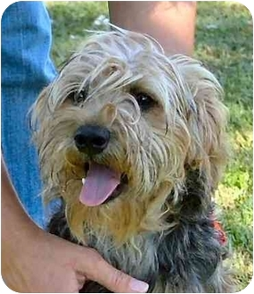 Yorkie, Yorkshire Terrier Mix Dog for adoption in Fulton, Missouri - Willy