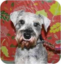 Schnauzer (Miniature) Mix Dog for adoption in Westbrook, Maine - Sammy