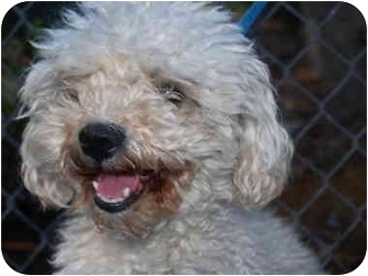 Poodle (Miniature) Mix Dog for adoption in El Cajon, California - Teddy