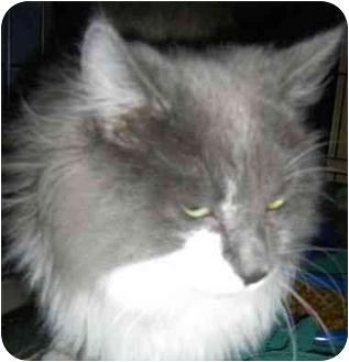 Domestic Longhair Cat for adoption in Strathmore, Alberta - Eli