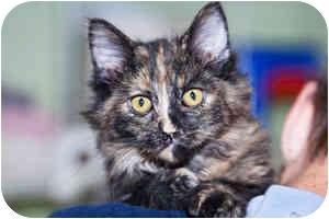 Domestic Longhair Kitten for adoption in Warren, Pennsylvania - Vivian