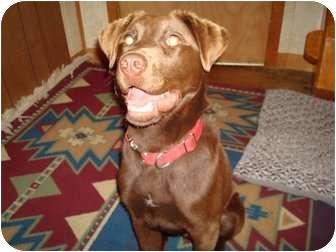 Labrador Retriever Mix Dog for adoption in Hopkinsville, Kentucky - Buddy