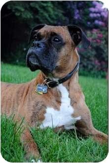 Boxer Dog for adoption in Grafton, Massachusetts - Simba