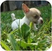 Cairn Terrier/Chihuahua Mix Puppy for adoption in Portland, Maine - Dale