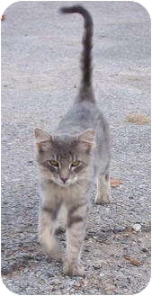 Domestic Shorthair Cat for adoption in Metamora, Indiana - Cavalier