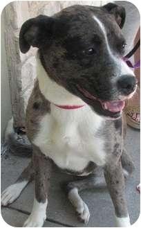 Catahoula Leopard Dog/Boxer Mix Dog for adoption in Arlington, Texas - Faith