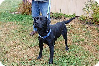 Labrador Retriever Dog for adoption in North Judson, Indiana - Dexter
