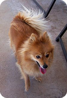 Pomeranian Dog for adoption in San Angelo, Texas - Honey