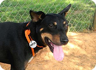 Doberman Pinscher/Shepherd (Unknown Type) Mix Dog for adoption in Salem, New Hampshire - MANNY-FOSTER NEEDED