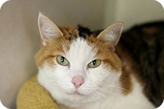 Domestic Shorthair Cat for adoption in Chicago, Illinois - Ona
