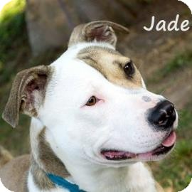 American Pit Bull Terrier Mix Dog for adoption in Elizabeth City, North Carolina - Jade