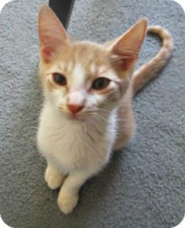 Domestic Shorthair Kitten for adoption in Anza, California - Charlie