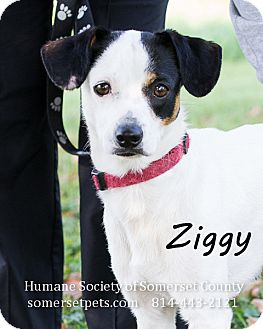 Jack Russell Terrier Mix Dog for adoption in Somerset, Pennsylvania - Ziggy