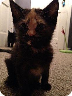 Domestic Shorthair Kitten for adoption in Toledo, Ohio - Jasmine