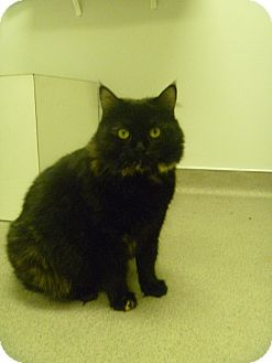 Domestic Shorthair Cat for adoption in Hamburg, New York - Sasha