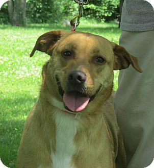Labrador Retriever Mix Dog for adoption in Marseilles, Illinois - Dolly
