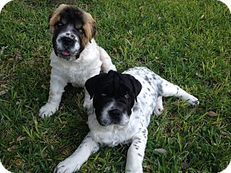 St. Bernard/Shar Pei Mix Puppy for adoption in Austin, Texas - Mork & Mindy