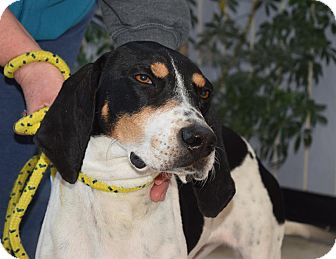 Treeing Walker Coonhound Dog for adoption in Buffalo, New York - Eve