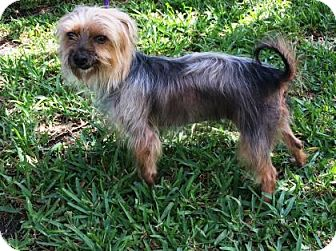 Yorkie, Yorkshire Terrier Mix Dog for adoption in Miami, Florida - S/C Tegan