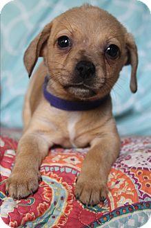 Dachshund/Chihuahua Mix Puppy for adoption in Allentown, Pennsylvania - Luna