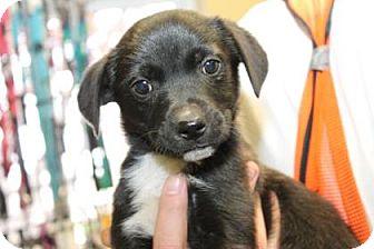Labrador Retriever Mix Puppy for adoption in Philadelphia, Pennsylvania - Delta