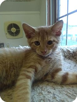 Domestic Mediumhair Cat for adoption in Owenboro, Kentucky - JUPITER