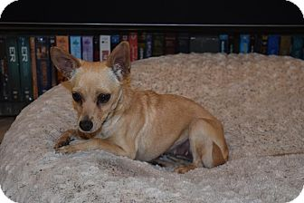 Chihuahua Mix Dog for adoption in Los Angeles, California - Lilly