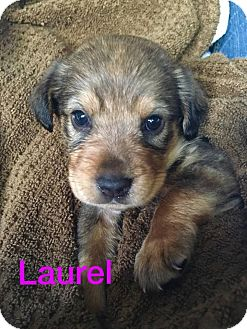 Shepherd (Unknown Type)/Spaniel (Unknown Type) Mix Puppy for adoption in Olive Branch, Mississippi - Laurel - Byhalia Pup