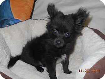 Pomeranian/Dachshund Mix Puppy for adoption in haslet, Texas - kosmo