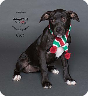 Pit Bull Terrier/Labrador Retriever Mix Puppy for adoption in Houston, Texas - Coco