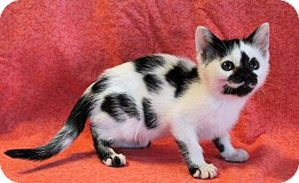 Domestic Shorthair Kitten for adoption in Greensboro, North Carolina - Eleanor